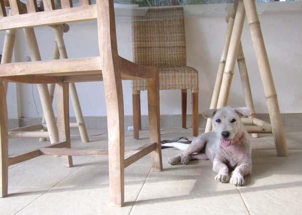 abandoned dog puppy Bali