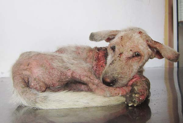 Bali dog abandoned