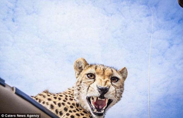 That is not a friendly look on that cheetah