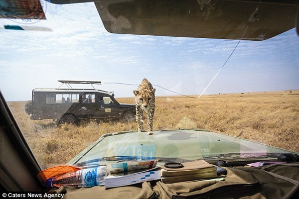 The Cheetah Finds way to car hood