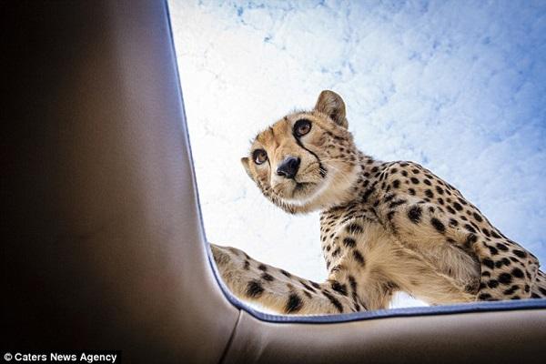 This Cheetah Found the sunroof