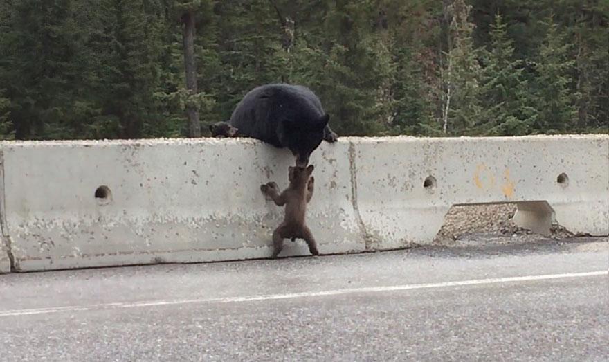 Bear Rescues Cub