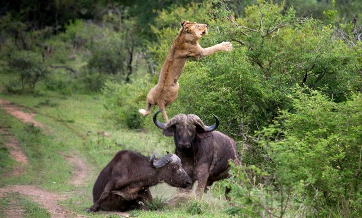 Buffalo Flips Lion