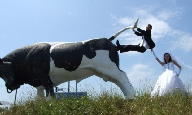 Cow Wedding