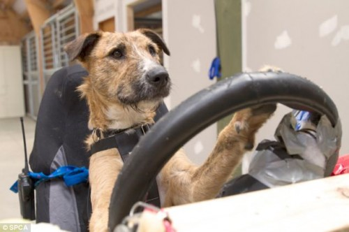 Porter the Driving Dog