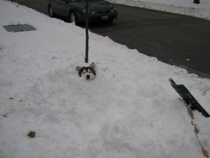 Tally the Husky Dog (16)