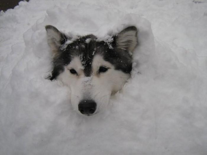 Tally the Husky Dog (17)