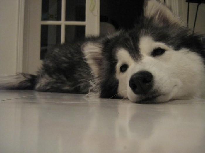 Tally the Husky Dog (19)