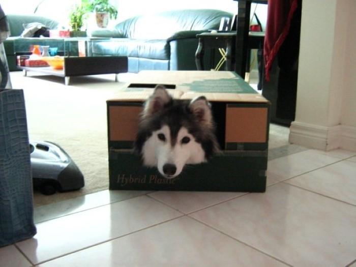 Tally the Husky Dog (5)