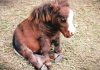 miniature horse thumb