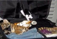 Tiger in Suitcase