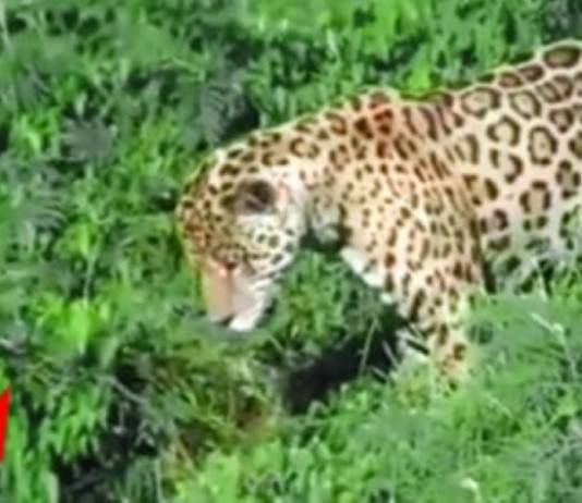 Jaguar Crocodile