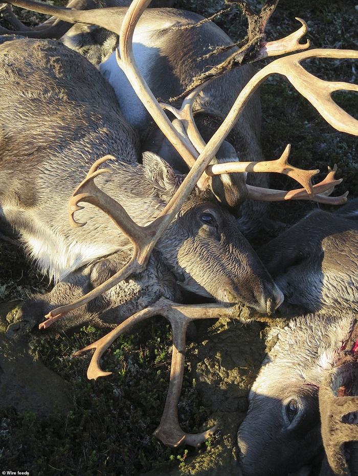 dead deers 2