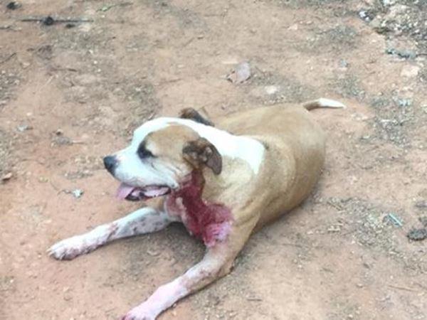 stray pit bull saves woman 1