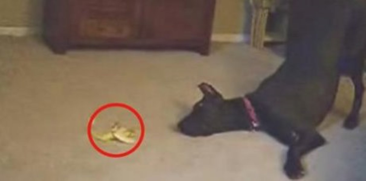 Great Dane and the Scary Banana (1)