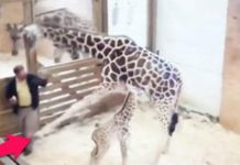 Giraffe Kicks Vet